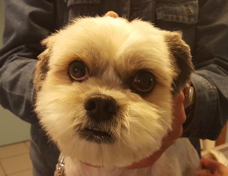 behandeling malassezia hond