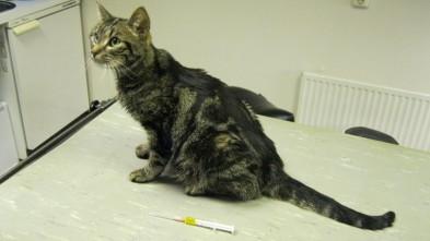 Feline infectieuze peritonitis fip diergeneeskundig for Vocht vasthouden buik